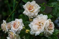 White rose (kmmanaka) Tags: japan nagasaki cruiseship fog rain harbor internationalterminal rose