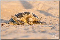 Good Luck My Babies (mlibbe) Tags: beach turtle reptile seaturtle atlanticocean cheloniamydas greenseaturtle brevardcounty wwwmichaellibbephotographycom