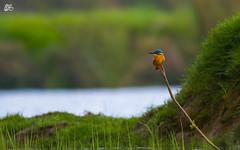 Common Kingfisher (S.M. Ali Javed) Tags: pakistan wild orange bird nature beautiful beauty flickr paradise wildlife birding kingfisher common wwf natgeo wildbirds wildbird