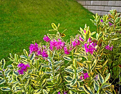 Hebe (anbri22) Tags: plants home nature grass garden mine gardening veronica prato hebe anbri