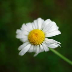 daisy (SS) Tags: white blur flower green texture yellow garden petals spring focus pentax bokeh depthoffield squareformat daisy k5 smcpentaxm50mmf17 ss