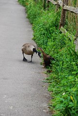 Git orf my land! (Snappergus) Tags: old food man duck fight centre guard ducklings goose mum snack protective scrap grumpy arundel feisty wetland