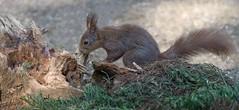 DSC08452rawcon_a (ger hadem) Tags: veluwe zwijn eekhoorn gerhadem