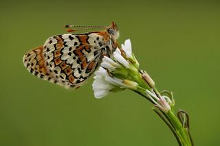 Gemeiner Scheckenfalter (Melitaea cinxia), Donauauen bei Zwentendorf, Niederösterreich