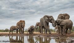 Mashatu hide Elephant family unit (Hayden54 Eddie and Pat) Tags: africa family baby mammal nikon wildlife pachyderm afrika botswana waterhole c4 gamereserve d4 mashatu mashatugamereserve specanimal nikond4 c4photosafari valleyhide