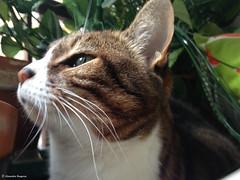 la poupouce (alexandrarougeron) Tags: lili poupouce chat chatte cat poli oeil moustache beaut belle beau magnifique excellent rebelle douce bisous clin canaille paris lige montmartre douceur gentille bonheur poil fourrure minou