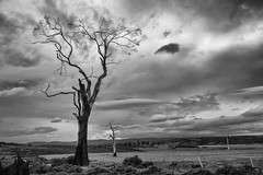 splinter (keith midson) Tags: old sky tree clouds rural dry deadtree tasmania agriculture