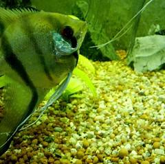 Pez ngel de acuario #acuario #fish #pez #peces #chile #pezangel #acuario #aquarium (Camila Rojas Esparza) Tags: chile fish pez aquarium peces acuario pezangel