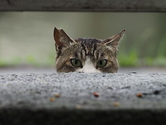Why do you peep out? (dayonkaede) Tags: olympus f28 m40150mm