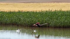 Carrera de despegue. / Take-off run. (Recesvintus) Tags: espaa naturaleza nature birds fauna outdoors wildlife flamingo flight aves lagoon laguna takeoff flamenco albacete vuelo airelibre despegue spaiin ptrola recesvintus