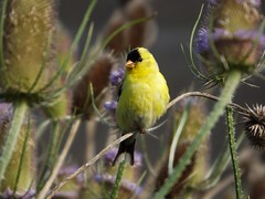 North American Goldfinch (car show buff1) Tags: flowers blue sunset canada nature robin landscapes woodpecker jay waterfront tulips cardinal dove flag wildlife trails finch chipmunk sparrow daffodil marigold oakville ravines on