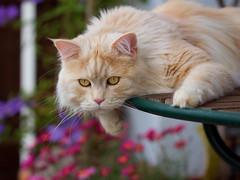 Watching the dogs (FocusPocus Photography) Tags: pet animal cat garden chat linus gato katze garten haustier kater tier onthetable aufdentisch