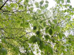 Htre europen (L'herbier en photos) Tags: belgique beech huy gives haya fagus lige wallonie sylvatica ardenne europen fagaceae htre benahin fagaces condrusienne bousalle