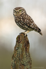 Little Owl (Steve Mackay) Tags: bird nature birds wildlife littleowl athenenoctua stevemackay