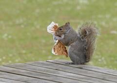 Scavenger (tobyjug5) Tags: feeding waste bins greysquirrel behaviour panasonicfz1000