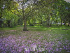#284 of 365 - Carpet of Pink - 250516 (Emily_Endean_Photography) Tags: pink flowers england tree nature town nikon blossom pov 365 bournemouth gopro