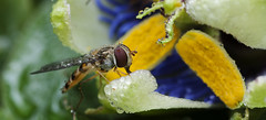 Passiflora / Passion for nature (gelein.zaamslag) Tags: holland macro nature netherlands nederland natuur zeeland bloemen bloei zeeuwsvlaanderen passiebloem zweefvlieg passieflora zaamslag geleinjansen