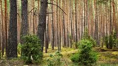 *** (pszcz9) Tags: las tree nature forest landscape spring sony poland polska a77 wiosna przyroda drzewo beautifulearth pejza