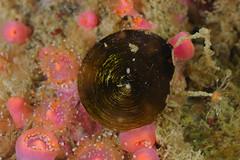 Plymouth-201605-HandDeeps1-Mollusca1-Topshell-DarkBrown (Tony J Gilbert) Tags: macro marine underwater plymouth diving scylla jameseaganlayne nikond300 handdeeps wwwdivingplymouthcom ceeking hilseapointrocks