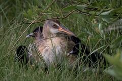 Ever Vigilant (gseloff) Tags: bird texas wildlife clapperrail hatchlings galvestonislandstatepark gseloff