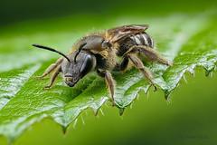 Wildbiene - Furchenbiene (AchimOWL) Tags: macro nature animals insect lumix outdoor wildlife ngc natur panasonic makro insekt tier schrfentiefe gx8 postfocus