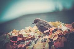 Ireland supporter (D J Alexander) Tags: ireland bird nature canon garden flickr outdoor wildlife cork mallow