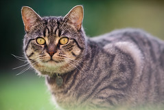 Gazing Fudge (Jonathan Casey) Tags: cat nikon tabby f2 vr 200mm d810