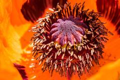 Das Mohn-Ballett - The Poppy-Ballet (ralfkai41) Tags: makro macro mohn blossom blte poppy blumen outdoor nature flower natur mohnblume