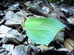 Butterfly 954 (+290000 views!) Tags: butterfly papillon borboleta mariposa farfalla schmetterling