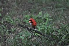 DSC_0063 (Gary Storts) Tags: cardinal gynandromorph gynadromorph orninthology birdwatching birds cardinalis northerncardinal cardinaliscardinalis