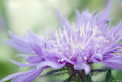 /Stokesia laevis (March Hare1145) Tags: plant flower purple   stokesia