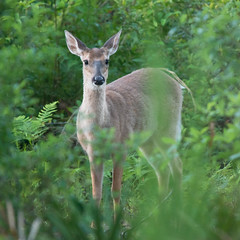 White-tailed Deer (stephaniepluscht) Tags: park white oak gulf state tail alabama deer ridge trail tailed whitetailed 2016