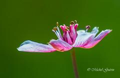 fleur sauvage ,wildflower (MichelGurin) Tags: wildflower fleursauvage