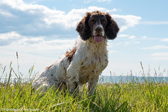 FAN_8221.jpg (Flemming Andersen) Tags: dogs animal denmark outdoor hund dk hurupthy northdenmarkregion helligsvej hebojebi