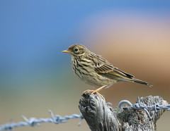 Brand new Meadow Pipit (themadbirdlady) Tags: bird wire post juvenile meadowpipit passeriformes anthuspratensis motacillidae higginsneukns9187