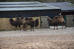 Chester Zoo (684) (rs1979) Tags: zoo chester chesterzoo bactriancamel asiansteppe