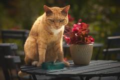 Grumpy morning... (Strange Artifact) Tags: sony a7r nikkor 105mm 125 ais metabones cat sun grumpy levenstuinen groothontschoten