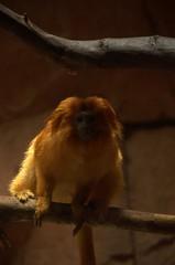 Riverbanks Zoo (Todd Money) Tags: monkey zoo tamarins