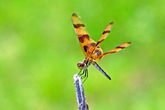 Halloween Pennant (Stan in FL) Tags: halloween flying florida dragonflies insects an fl pennant odonata