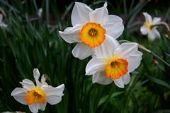 (ashleigh290) Tags: cambridge red england white green yellow spring university unitedkingdom daffodil