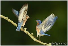 """You feed the kids.."" (Earl Reinink) Tags: blue bird bluebird easternbluebird earl reinink earlreinink niagara ontario canada nikon nikond5 ohddeardra"
