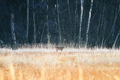 Deer in the Winter Fenland (Adam_Marshall) Tags: morning landscape winter forest stereocolours outdoors animals trees nature adam marshall field adammarshall wood deer wildlife frost cold frozen holme countryside cambridgeshire canon eos70d 70200mmf40