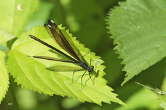 Caloptryx bistr / Ebony jewelwing (alain.maire) Tags: canada nature quebec demoiselle damselfly odonata calopterygidae ebonyjewelwing calopteryxmaculata odonate caloptryxbistr