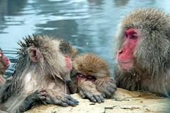 Japanese Macaque, Jigokudani Snow Monkey Park, Japan (rmk2112rmk) Tags: japan monkey onsen hotspring jigokudani macaque snowmonkey japanesemacaque jigokudanisnowmonkeypark