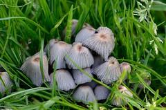 Fairy Inkcap Coprinus disseminatus Upton NWT (JohnMannPhoto) Tags: fungi upton nwt norfolk toad stool