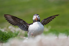 Puffin stretching wings (Poyntonshoot Mike) Tags: puffin auk poyntonshoot mike pembrokeshire skomer island springwatch
