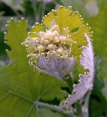 Bud's budding (louise peters) Tags: plant green bud sprout flowerbud plumepoppy bloemknop macleayacordata pluimpapaver macleaya ontspruiten