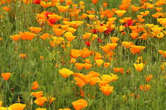 Poppy Power (gripspix (OFF)) Tags: 20160605 nature natur plant pflanze blte blossom californianpoppy escholziacalifornica goldmohn