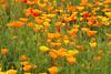 Poppy Power (gripspix (OFF)) Tags: 20160605 nature natur plant pflanze blüte blossom californianpoppy escholziacalifornica goldmohn