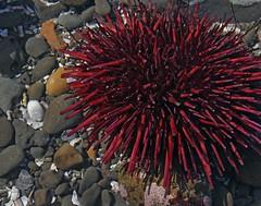 Red Sea Urchin (Strongylocentrotus franciscanus) (Ron Wolf) Tags: california nature marine pacific wildlife intertidal urchin tidepool pillarpoint echinodermata echinoidea redseaurchin strongylocentrotusfranciscanus strongylocentrotidae camarodonta